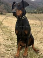 Dobermann Lederhalsband mit Messing Spikes