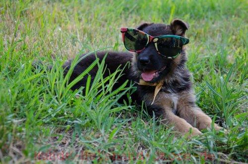 die richitge ration von deutscher schäferhund welpe